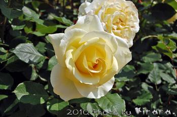 2010 05 16 バラ祭り 13.jpg