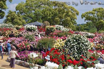 2010 05 16 バラ祭り 14.jpg