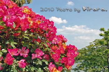 2010 05 16 バラ祭り 3.jpg