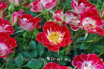 2010 05 16 バラ祭り 5.jpg