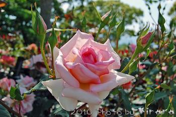 2010 05 16 バラ祭り 6.jpg