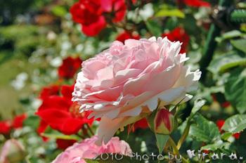 2010 05 16 バラ祭り 7.jpg