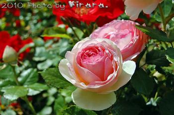 2010 05 16 バラ祭り 8.jpg