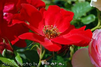 2010 05 16 バラ祭り 9.jpg