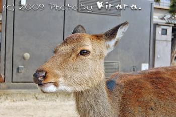 宮島の鹿さん の縮小.jpg